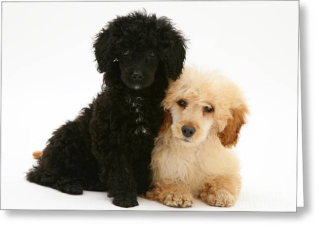 Canid Greeting Cards - Black And Apricot Miniature Poodles Greeting Card by Jane Burton