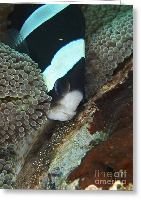 Amphiprion Clarkii Greeting Cards - Black And White Anemone Fish Looking Greeting Card by Mathieu Meur
