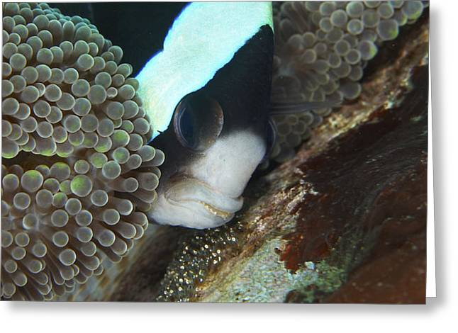 Black And White Anemone Fish Looking Greeting Card by Mathieu Meur