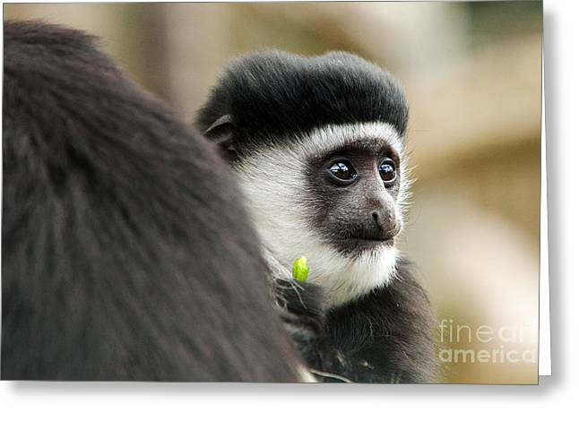 Pete Reynolds Greeting Cards - Black and White Colubus Monkey Greeting Card by Pete Reynolds