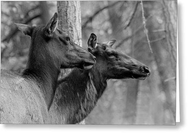 Award Winning Art Greeting Cards - Black and White Elk Greeting Card by Steve McKinzie