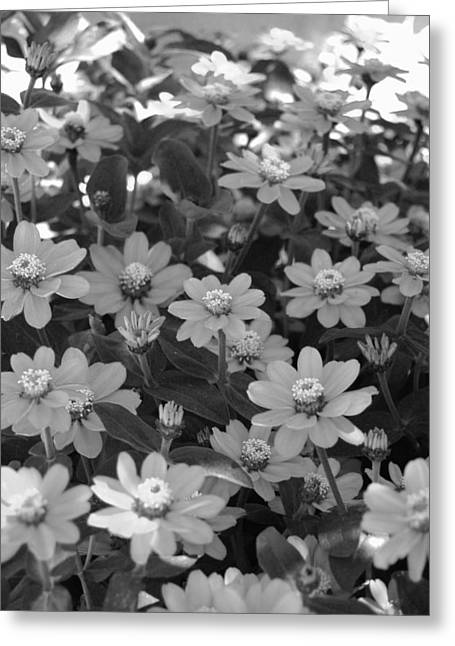 Black And White Flowers Greeting Card by Amy Fose