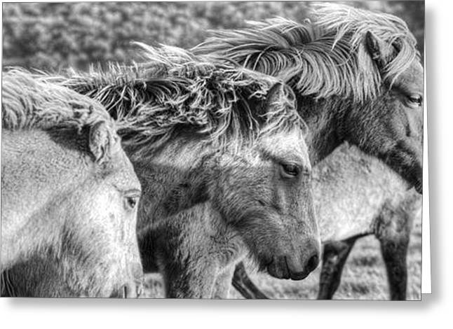 The Horse Greeting Cards - Black And White Image Of Icelandic Greeting Card by Robert Postma