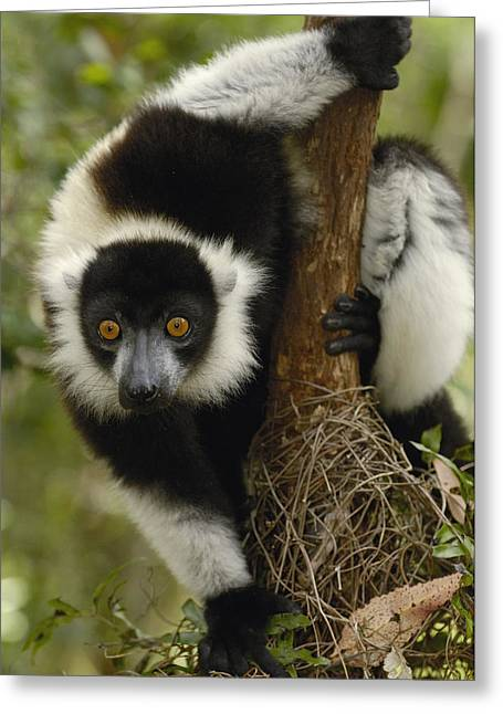 Black And White Ruffed Lemur Varecia Greeting Card by Pete Oxford
