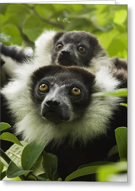 Variegata Greeting Cards - Black And White Ruffed Lemurs Greeting Card by Power And Syred