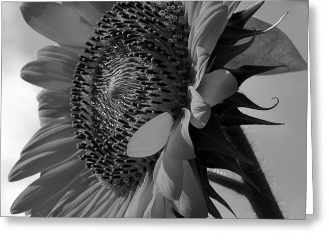 In Belt Greeting Cards - Black and White Sunflower No.29 Greeting Card by Christine Belt