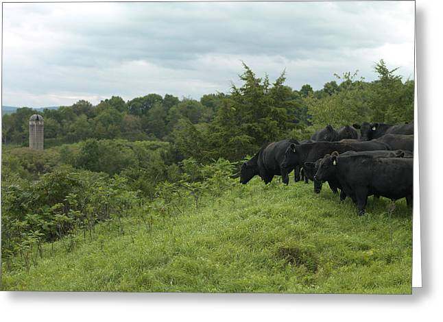 Black Angus Cattle Greeting Card by Justin Guariglia