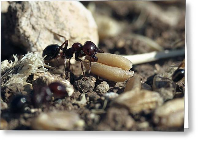 Best Sellers -  - Eating Entomology Greeting Cards - Black Ant Carrying Grain Seed Greeting Card by Photostock-israel