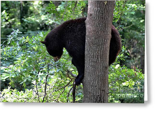 Black Bear Climbing Tree Greeting Cards - Black Bear balancing on Limb Greeting Card by Eva Thomas