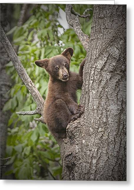 Vince Greeting Cards - Black Bear Cub Hanging On Greeting Card by Randall Nyhof