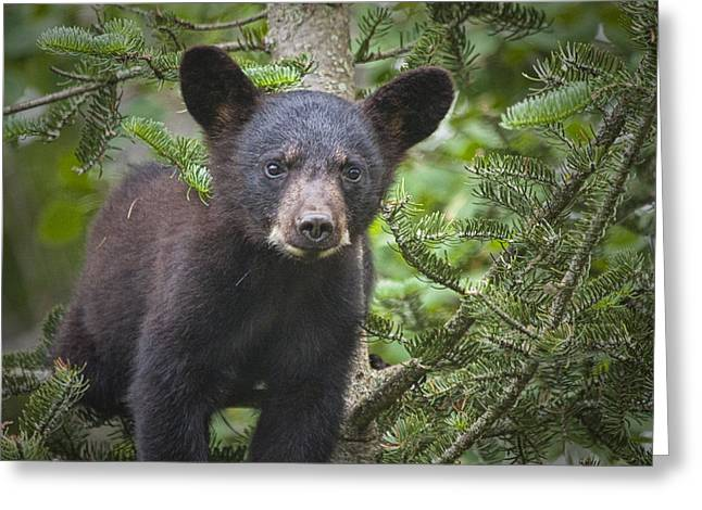 Black Bear Cub In Northern Minnesota Greeting Card by Randall Nyhof