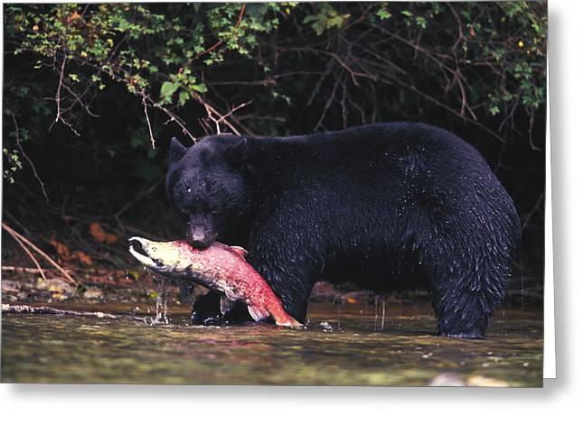 American Food Greeting Cards - Black Bear Eats A Sockeye Salmon Greeting Card by Nick Norman