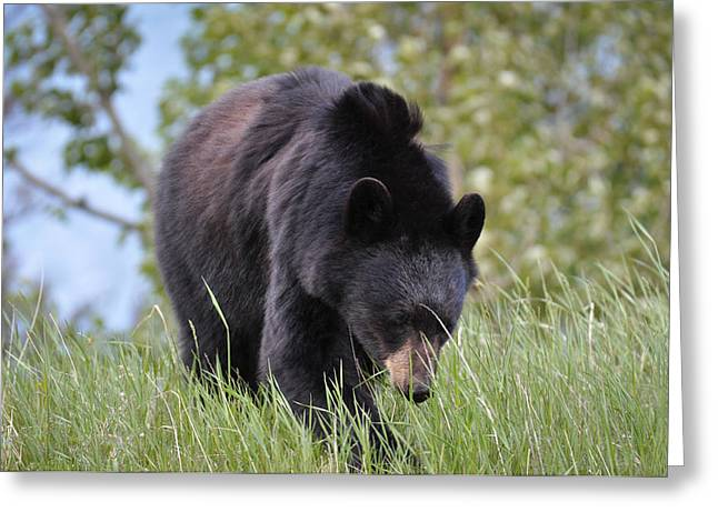 Nikon D90 Greeting Cards - Black Bear Going to the Sun Greeting Card by Ronda Broatch