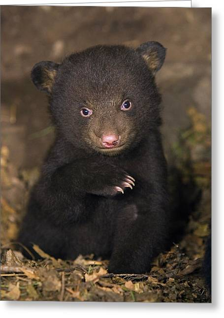 Ursidae Greeting Cards - Black Bear Ursus Americanus 7 Week Old Greeting Card by Suzi Eszterhas