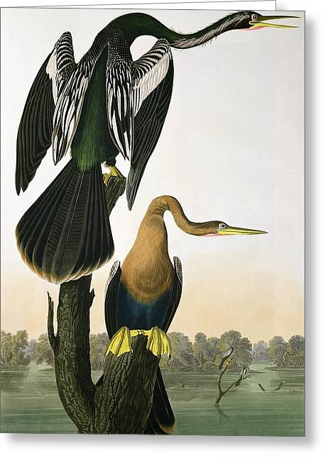 Coloured Greeting Cards - Black Billed Darter Greeting Card by John James Audubon
