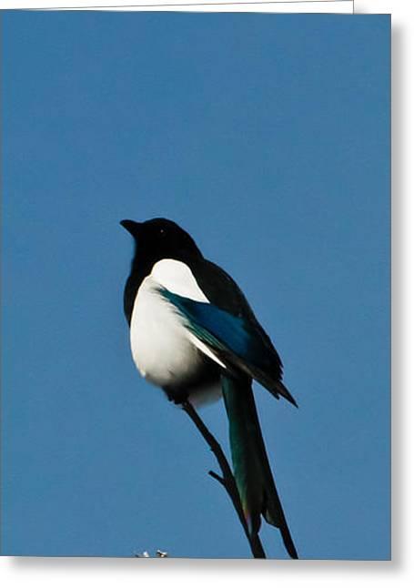 Black-billed Magpie Greeting Cards - Black-Billed Magpie Greeting Card by Mitch Shindelbower