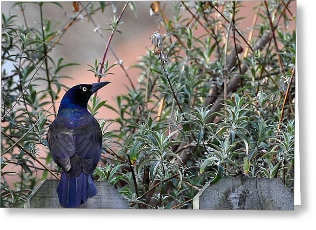 Bush Wildlife Greeting Cards - Black Bird Greeting Card by Todd Hostetter
