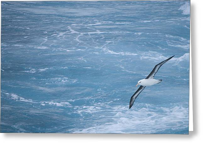 Flying Animal Greeting Cards - Black-browed Albatross Flying Greeting Card by Paul Sutherland