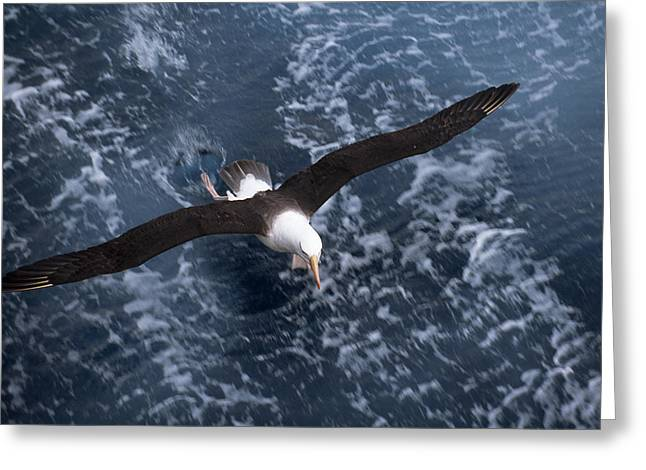 Flying Animal Greeting Cards - Black-browed Albatross In Flight Greeting Card by Paul Sutherland