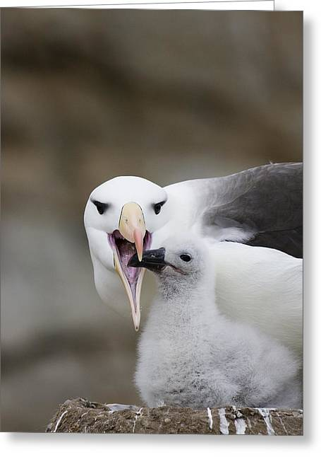 Hungry Chicks Greeting Cards - Black Browed Albatross Preparing Greeting Card by Suzi Eszterhas