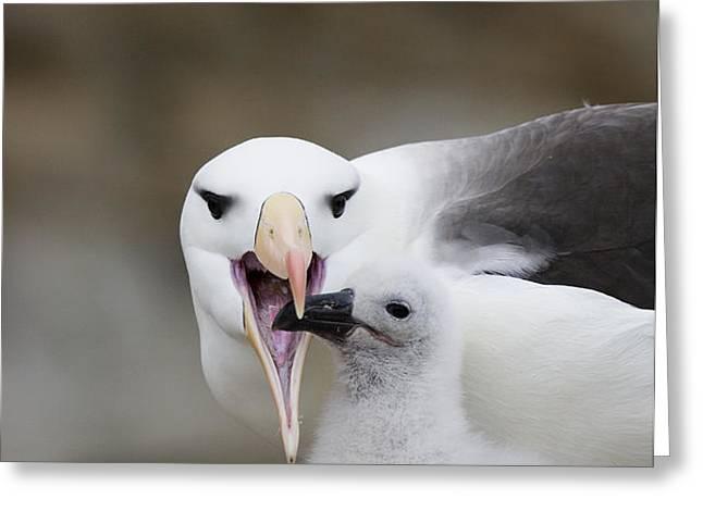 Black Browed Albatross Preparing Greeting Card by Suzi Eszterhas