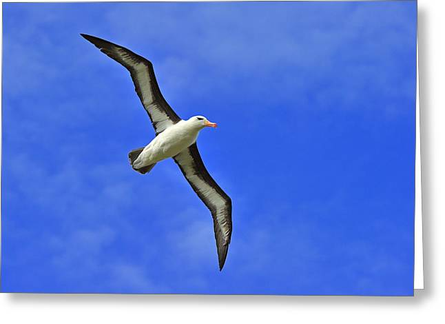 Black-browed Albatross Greeting Card by Tony Beck