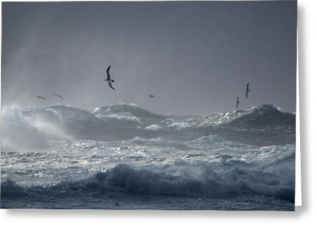 Black-browed Albatrosses Flying Greeting Card by Frans Lanting