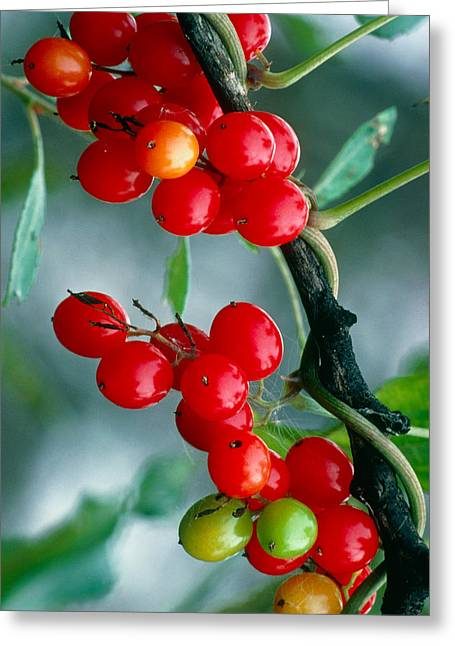 Black Berries Greeting Cards - Black Bryony Berries Greeting Card by Vaughan Fleming