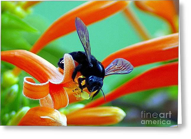 Black  Bumblebee  Greeting Card by John  Kolenberg