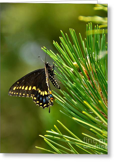 Pine Needles Greeting Cards - Black Butterfly Greeting Card by Betty LaRue