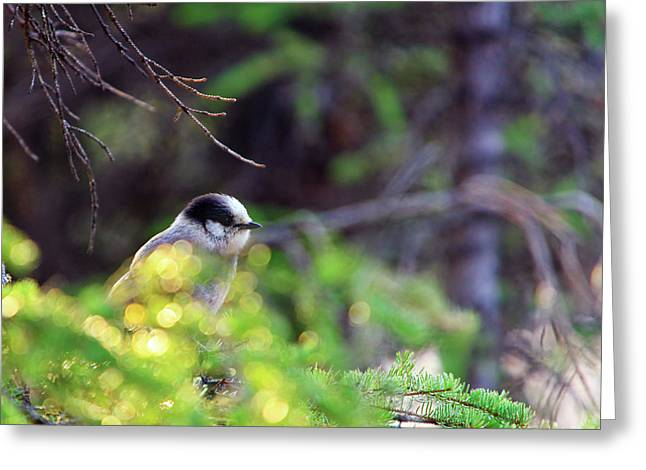 Black Capped Chicadee Greeting Card by Rick Berk