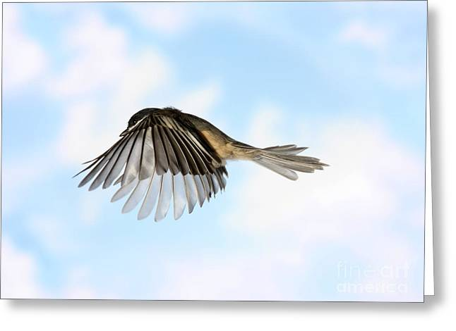 Silhouettable Greeting Cards - Black-capped Chickadee In Flight Greeting Card by Ted Kinsman