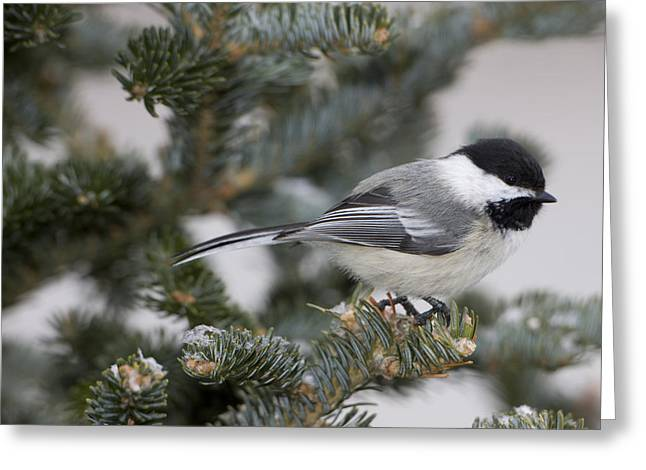 Full-length Portrait Photographs Greeting Cards - Black-capped Chickadee, Poecile Greeting Card by John Cancalosi