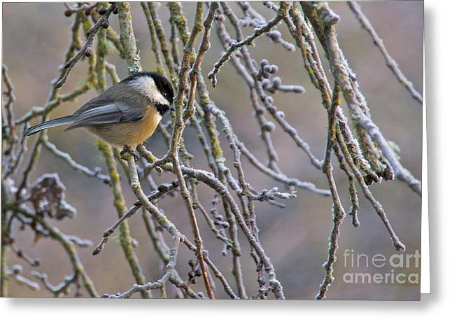 Sean Griffin Greeting Cards - Black-Capped Chickadee Greeting Card by Sean Griffin