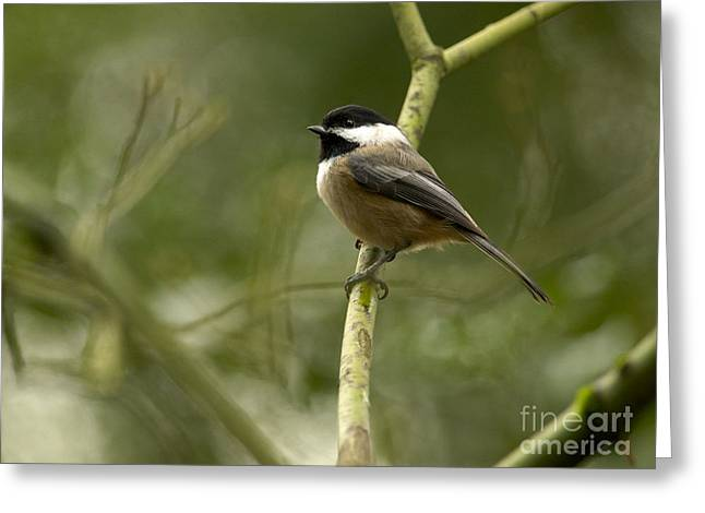Bird On Tree Greeting Cards - Black-capped Chickadee with branch bokeh Greeting Card by Sharon  Talson