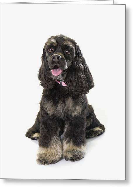Black Boots Photographs Greeting Cards - Black Cocker Spaniel With Golden Boots Greeting Card by Corey Hochachka
