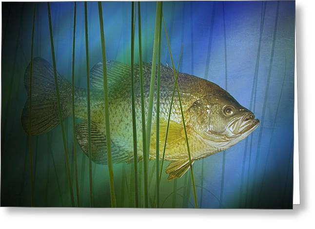 Crappies Greeting Cards - Black Crappie Fish No.0155 Greeting Card by Randall Nyhof