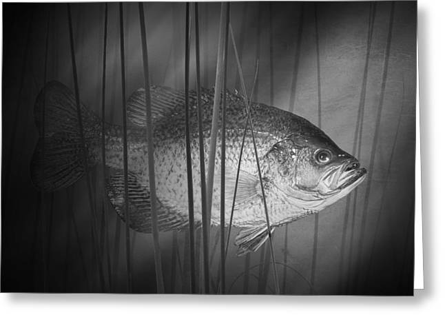Crappies Greeting Cards - Black Crappie or Speckled Bass among the Reeds Greeting Card by Randall Nyhof