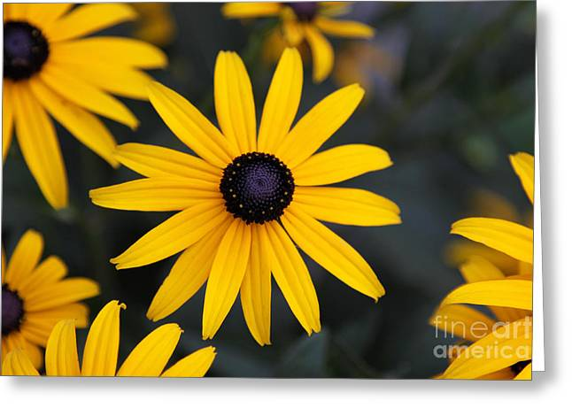 Chris Hill Greeting Cards - Black-eyed Susan Greeting Card by Chris Hill