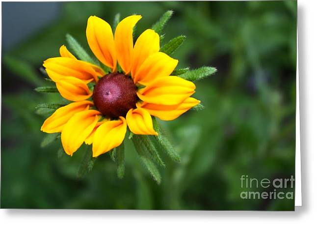Yellow Sunflower Greeting Cards - Black-eyed Susan Greeting Card by Marjorie Imbeau