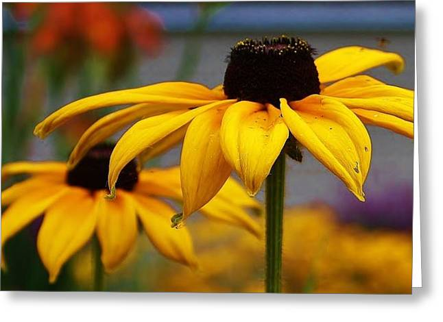 Black Eyed Susan Up Close Greeting Card by Bruce Bley