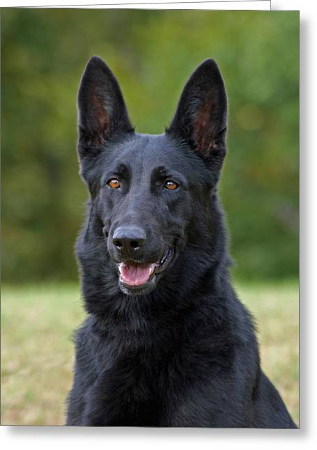 German Shepherd Art Greeting Cards - Black German Shepherd Dog Greeting Card by Sandy Keeton