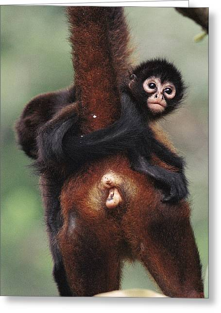 Black-handed Spider Monkey Ateles Greeting Card by Christian Ziegler