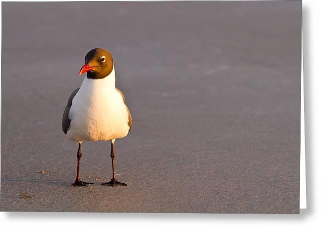 St Petersburg Florida Greeting Cards - Black Headed Gull Greeting Card by Adam Pender