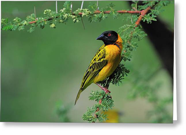 Birds. Thorns Greeting Cards - Black-headed Weaver Greeting Card by Tony Beck