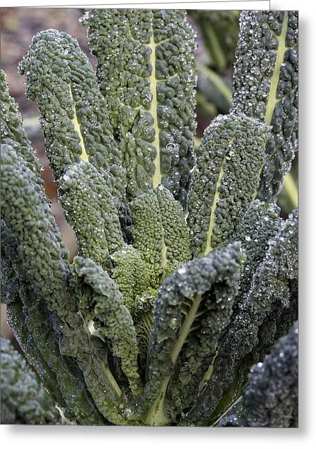 Organically Greeting Cards - Black Kale (brassica nero De Toscana) Greeting Card by Maxine Adcock