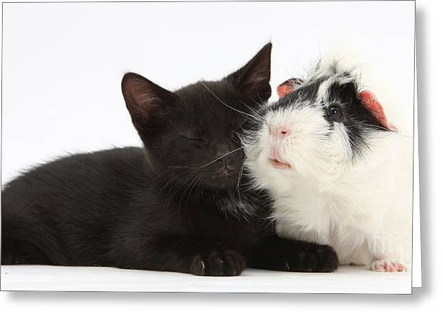 House Pet Greeting Cards - Black Kitten Guinea Pig Greeting Card by Mark Taylor