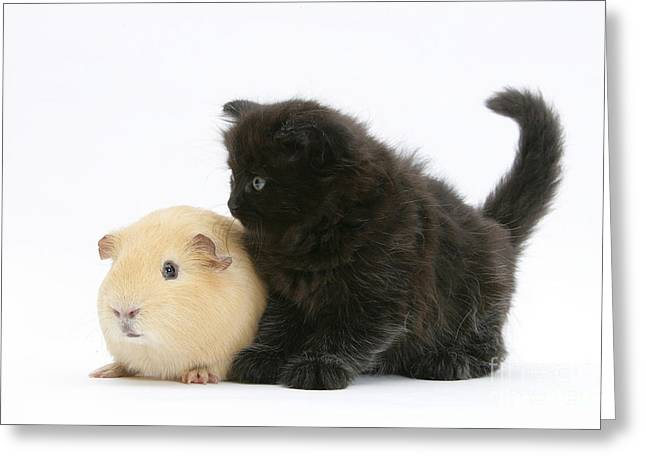 House Pet Greeting Cards - Black Kitten With A Yellow Guinea Pig Greeting Card by Mark Taylor