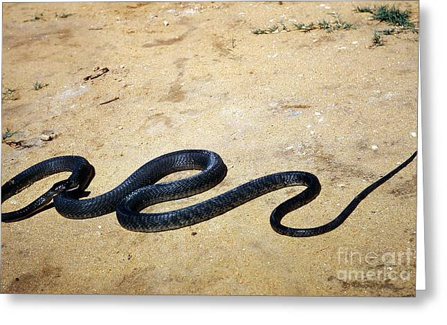 Black Mamba Greeting Card by Elizabeth Kingsley