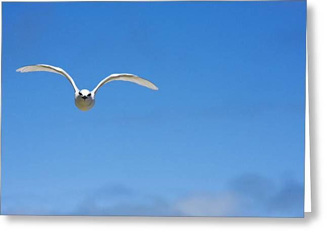 Tern Greeting Cards - Black-Naped Tern Greeting Card by Dave Fleetham - Printscapes